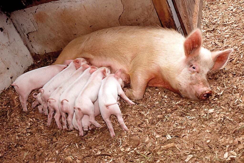 Producto ESSENTIAL swine