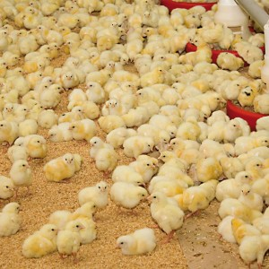 Producto Essential Poultry Image